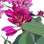 rhododendronc copy