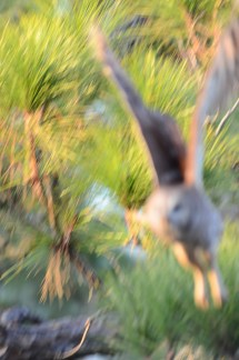 Nothing was in focus in this barred owl flight photo
