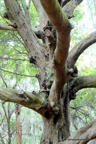 Really old, knotty trees!