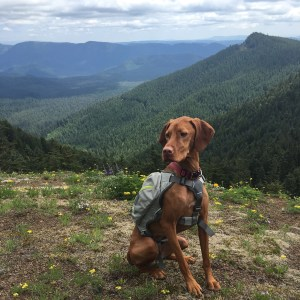 trail dog - vizsla
