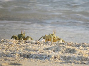 Crabs on the sandbank near Stone Town