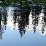 Trees in Lillypad Pond