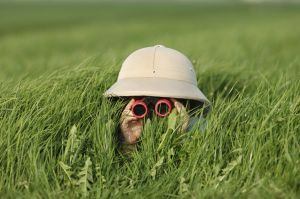 Picture of unseen person wearing a safari hat and binoculars peeking through grass