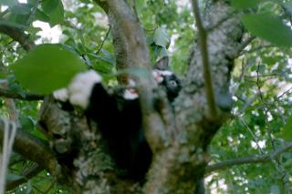 Sippo i plommonträdet-