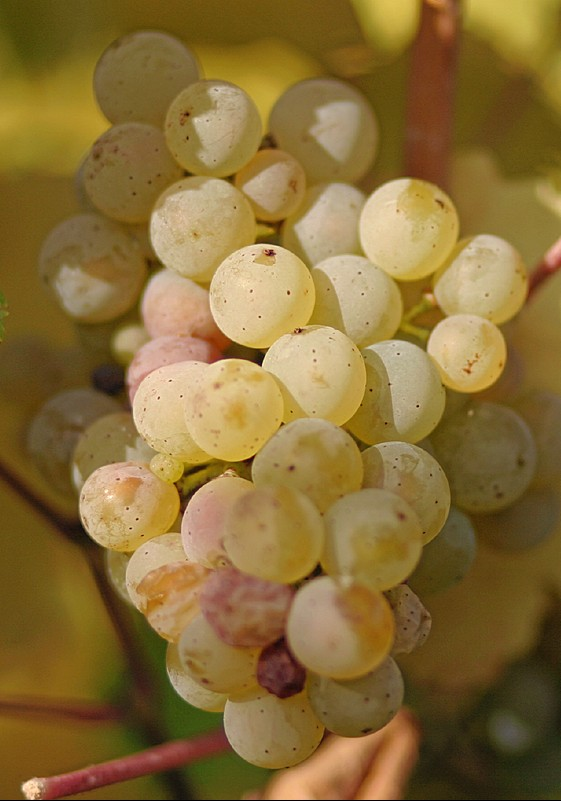 Riesling_grapes_leaves