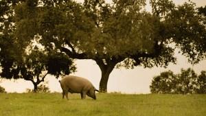 Un cerdo ibérico pastando en la dehesa debajo de una encina