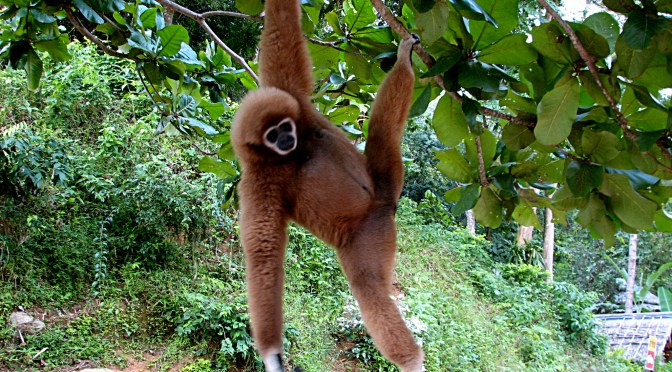 Not everyone knows about the plight of the Gibbon – Do you?