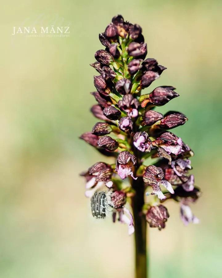 Naturschutzgebiet Tote Täler, Orchideen, Orchis purpurea, Sachsen-Anhalt, Unstrut* Purpur-Knabenkraut