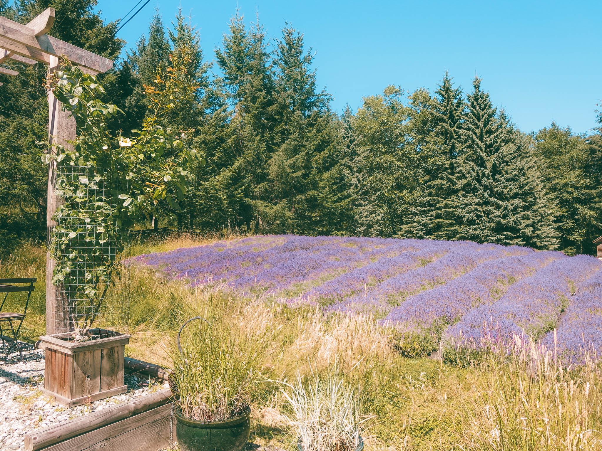 jana meerman sacred mountain lavender salt spring island-1