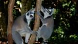 Madagascar ring tailed lemur