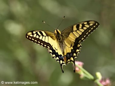 european-swallowtail-butterfly