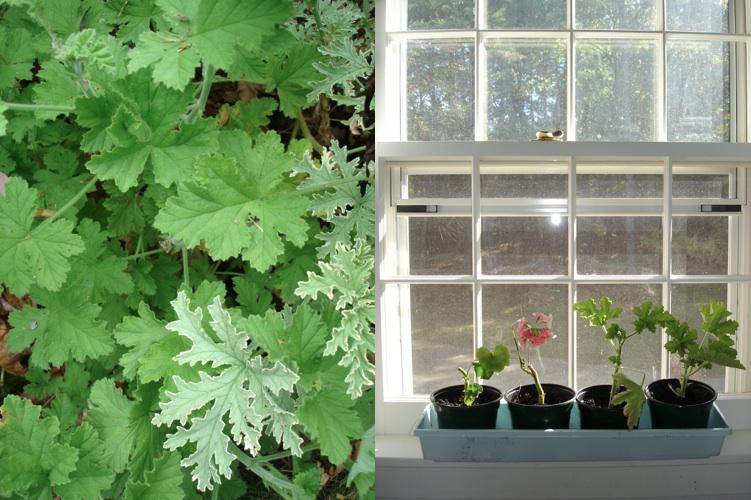 geranium starts; janebalshaw.com