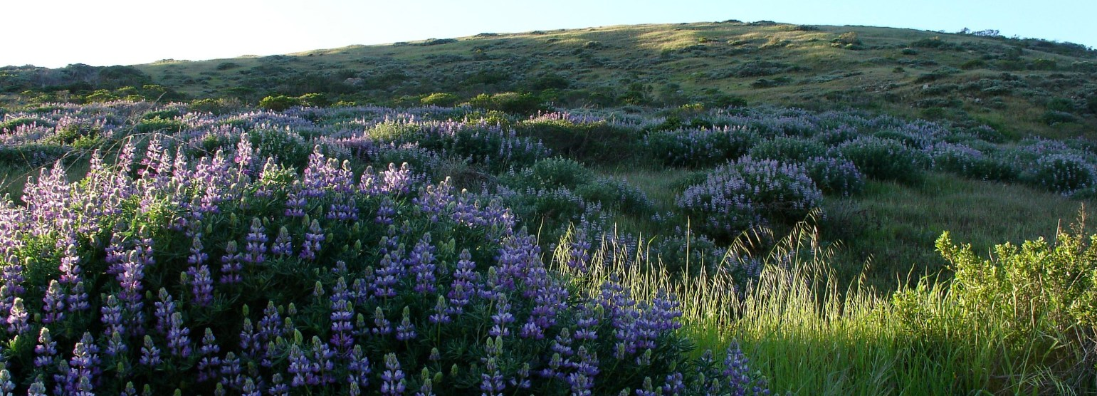 lupine cropped