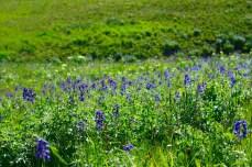 Delphinium meadow