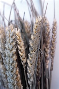 Closeup view of a bunch of upright ears of ripe wheat harvested for their seeds and used as a staple grain in foodstuff or as a winter feed for livestock