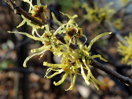 A close-up of witch hazel blossoms.