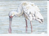 For Sale - Spoonbill Card