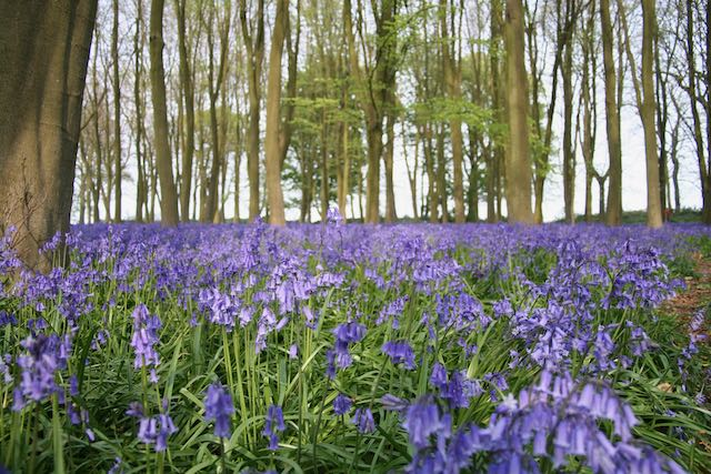 Inspiration in the bluebell woods