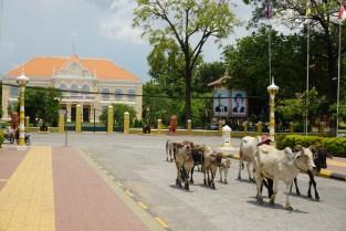 Kuhtreiber in Battambang