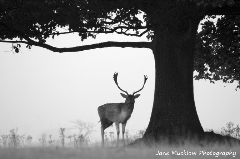 Black and white photo of a stag standing under the silhouette of a tree, photo by Jane Mucklow Photography