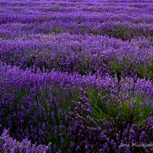 Photograph of rows of lavender in a field, deep purple and dark green, by Jane Mucklow