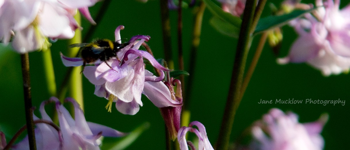 Photo of a bee on pink aqueligia flowers by Jane Mucklow