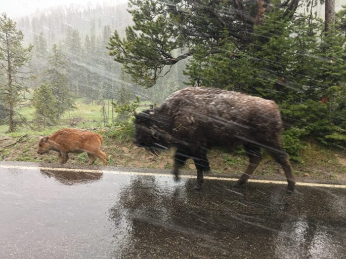 Baby Bison in a snowstorm