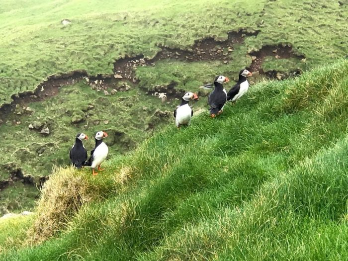 puffins Faroe Islands
