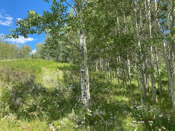 Aspen trees, wildflowers, blue skies in Idaho.