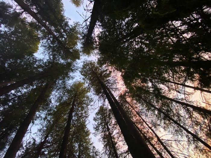 Pine trees and a sunset