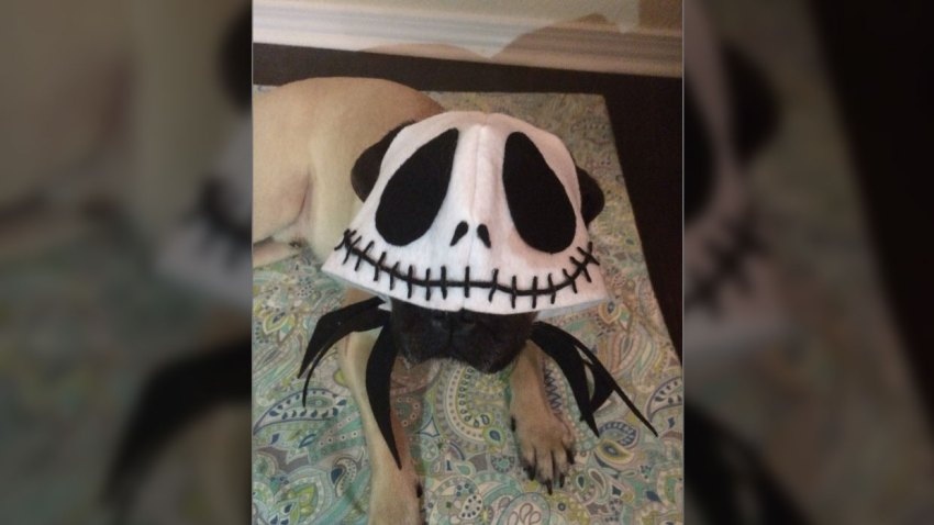 Jack Skellington Halloween Pet Costume
