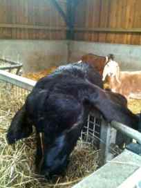 Goat eating the bedding from the calf's pen.