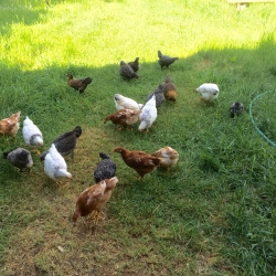 Chickens 2016