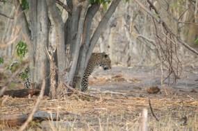 leopard_behindtree9