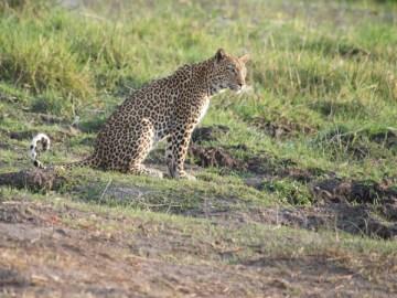 leopard_sitting3