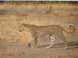 leopard_walking_paw8