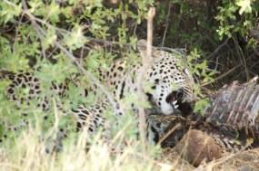 leopardteeth