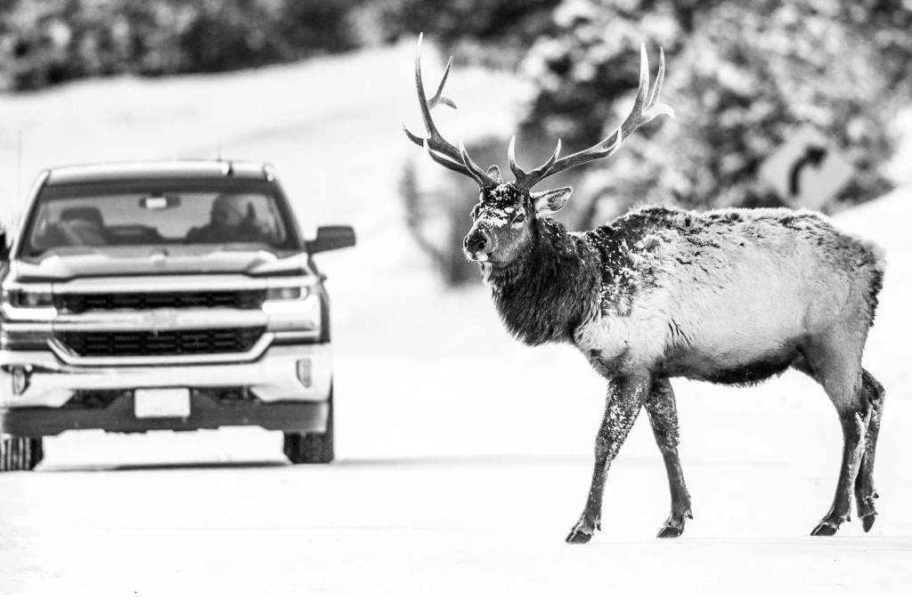 Elk crossing the road in front of a Chevy truck on a snowy road.