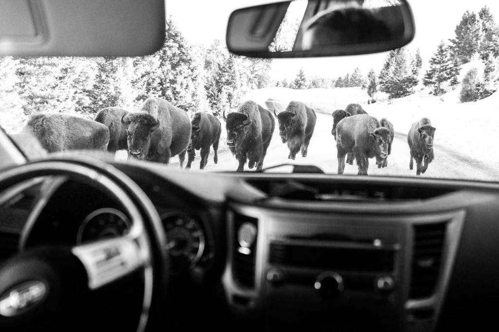 Bison surrounding a car in Yellowstone in winter.  Photo taken from inside the car and shows the bison through the window