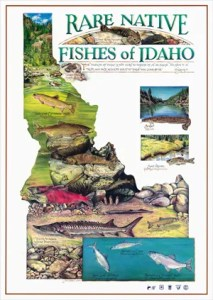 are Native Fishes of Idaho poster design and watercolor illustration for American Fisheries Society, Idaho Chapter. Copyright © 1994 Janet Murphy.