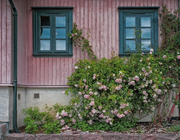 architecture, cityscape, flora, pink, rhododendrons, Oslo, Norway
