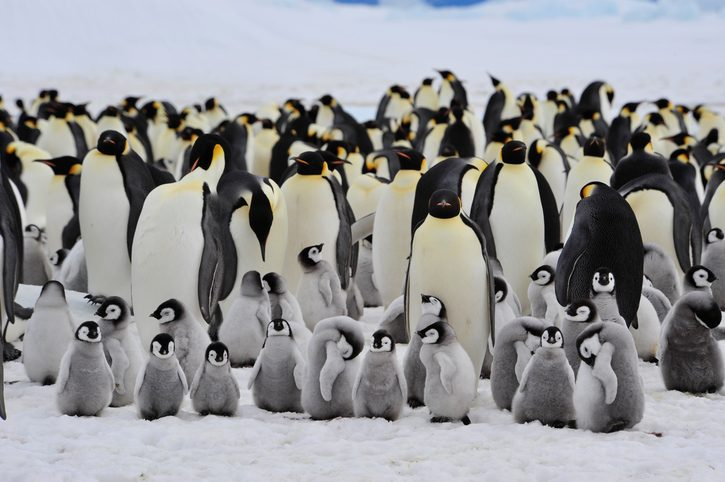 Emporer penguins with chicks