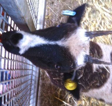One of the Jacob lambs.