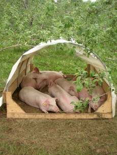 Pigs in orchard