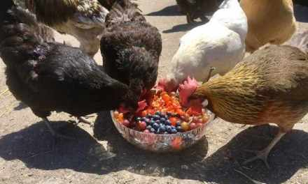 Chicken Salad…a Salad that Chickens Love to Eat