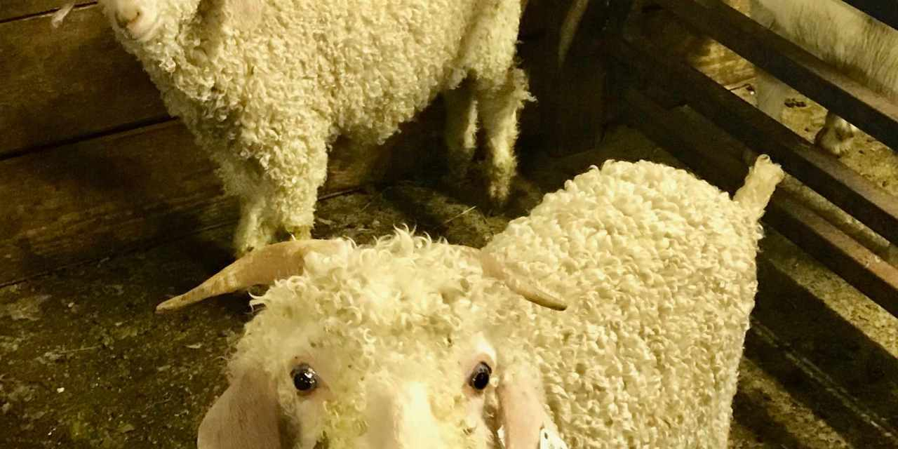 Baby Animals Confined and Sold Inside Seattle Livestock Auction