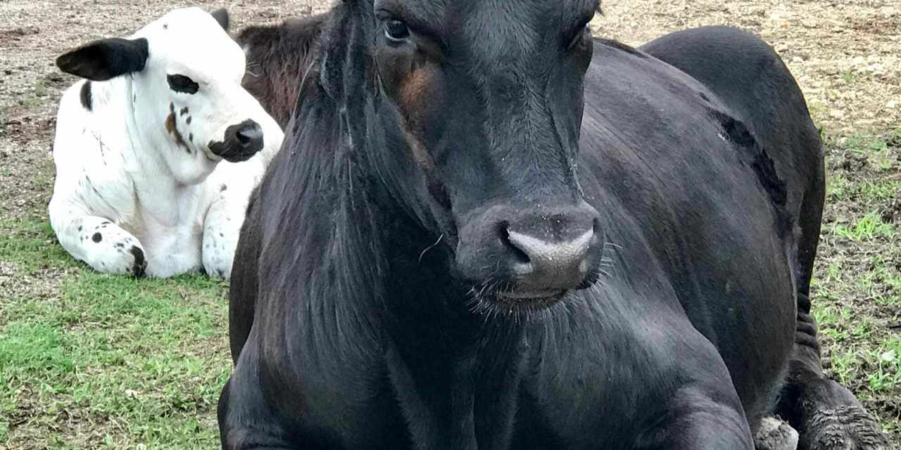 Texas Cattle Ranchers Go Vegan!