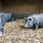Pot-Bellied Pigs Used For Target Practice In Cemetery Get New Home!