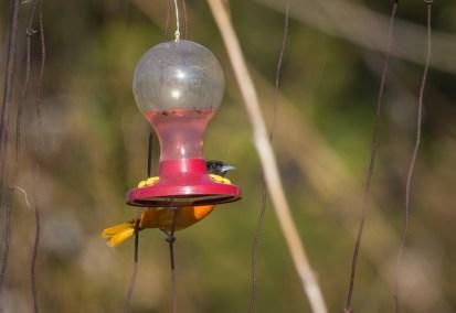 Baltimore Oriole at Hummingbird Feeder