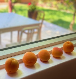 apricots ripening on a window sill